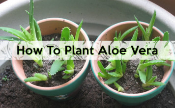 How to plant aloe vera