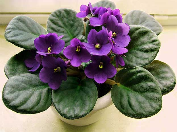 african violets are sentimental houseplants that remind us of our grannies they are easy to grow and bloom all year with almost no effort