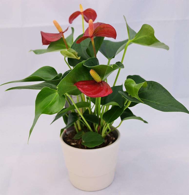 Consisting Of Heart Shaped Flowers And Foliage Anthurium Like Other Aroids Are Mostly Grown As A Flowering Indoor Plant They Bloom In The Shades