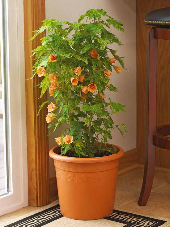 One Of The Most Versatile Flowering House Plants Maple Is Por For Its Paper Like Blooms In Shades Pink Orange And Yellow