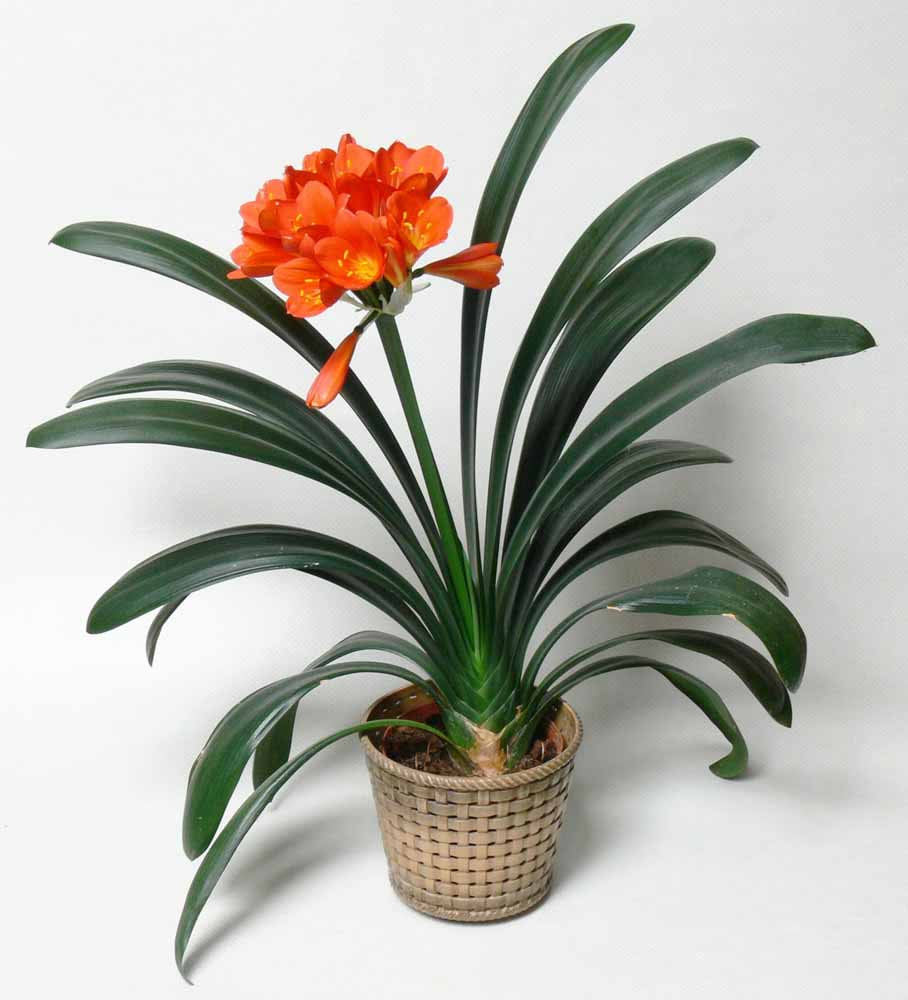 also known as clivia kaffir lily is an indoor flower plant that bears red orange or yellow colored sweetly aromatic flowers it blooms when it is placed