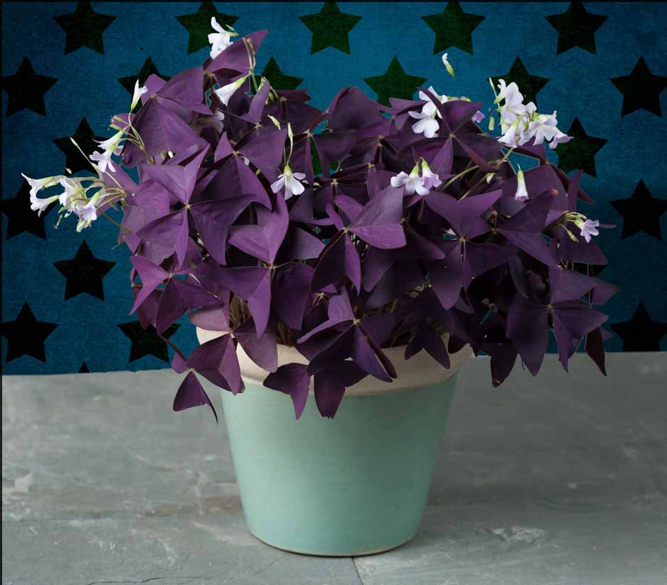 Elegant 3Oxalis. Cultivated Mainly As Houseplants ...