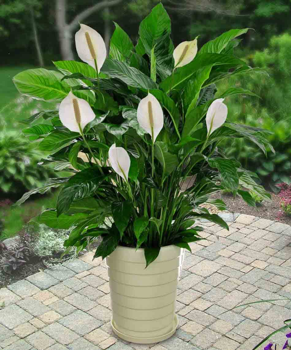 An Easy To Care Plant Peace Lilies Make Excellent Indoor Flowering Plants Because Of Their Capacity Tolerate Low Light And Humid Conditions