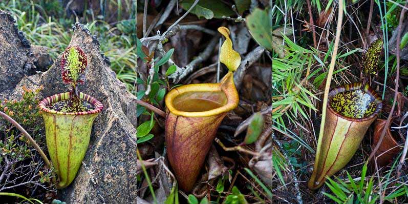 attenboroughs-pitcher-plant