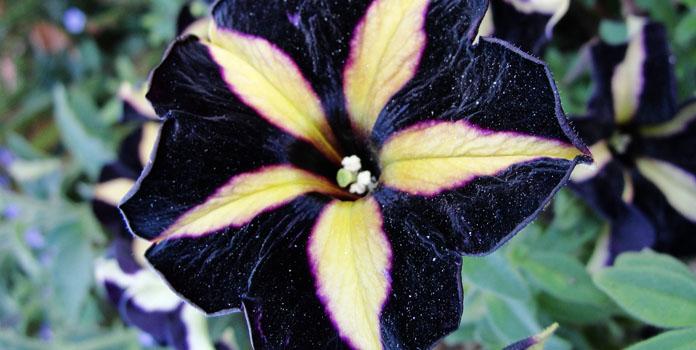 black-petunia