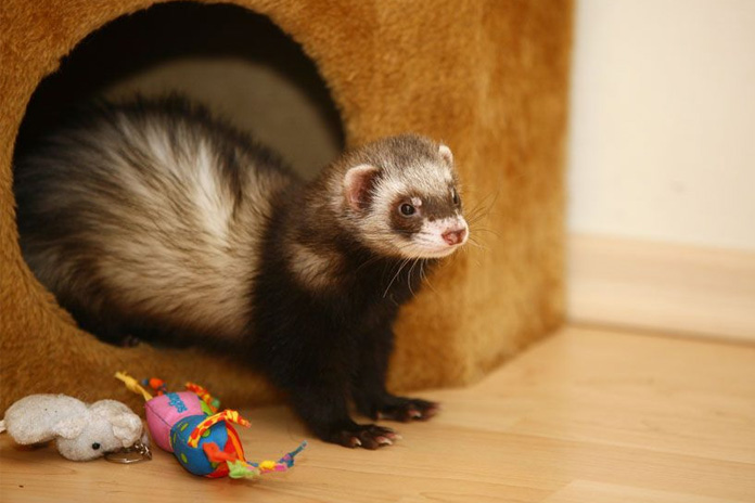 ferrets-turned-into-dogs
