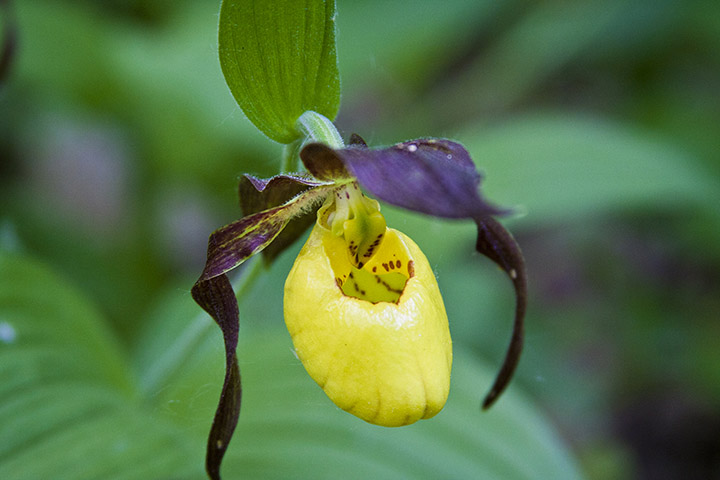yellow-purple-lady-slippers