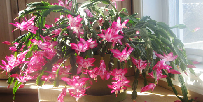 cheerful-christmas-cactus