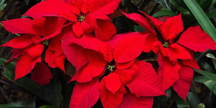 pretty-poinsettia
