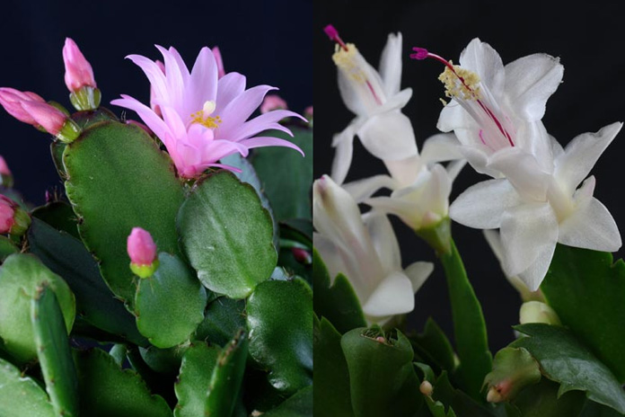 Easter Cactus Vs Christmas Cactus